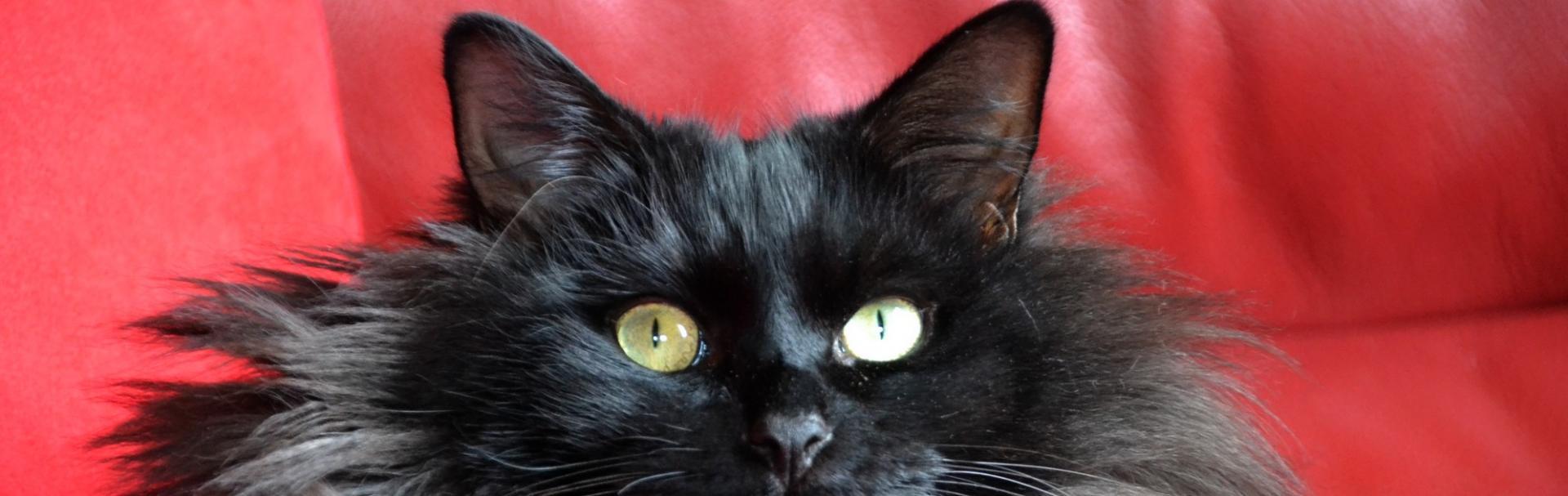 Chats noirs jJules